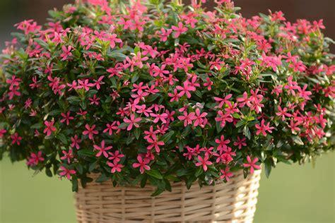 soiree kawaii 174 catharanthus pink sunfire nurseries