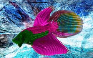 Go Back gt Gallery For gt Beautiful Betta Fish