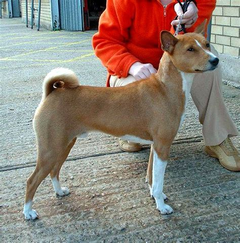 dogs with curly tails large breeds with curly tails breeds picture