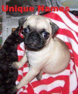 unique pug names unique names for a pug pethelpful