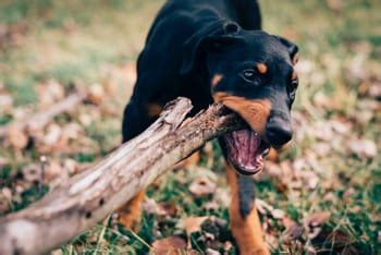 how to stop dog from chewing everything in house dog chewing everything here is how to stop them