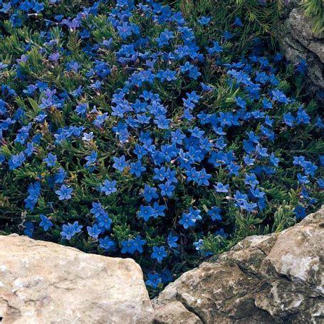 blaue stauden winterhart steinsame lithodora diffusa stauden bodendecker