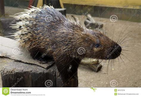 fotos animales nocturnos brachyura malayo de hystrix del puerco esp 237 n de los