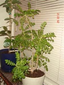 boswellia sacra tree website of bejorune