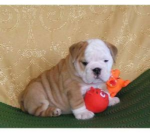 puppies for sale in wilmington nc wilmington akc bulldog puppies for rehoming