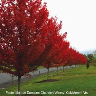 best 25+ red sunset maple ideas on pinterest | landscaping