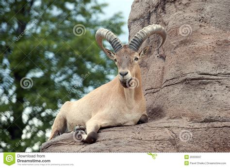 what is a tur west caucasian tur stock image image of buck mammalia