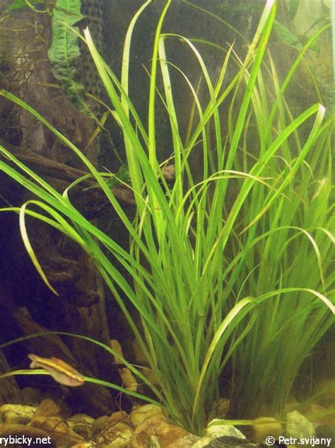 best low light aquarium plants 1000 images about low light aquarium plants on pinterest