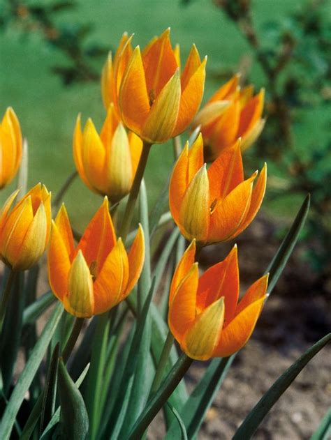 Tulipia Set Rok 142 best images about bulbs corms and tubers on