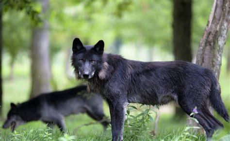 imagenes lobo negro galer 237 a de im 225 genes lobo negro