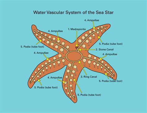 starfish diagram sea anatomy diagram worksheet sea free engine image