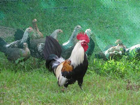 Bibit Ayam Hari Ini kenapa ayam berkokok di pagi hari ini alasan ilmiahnya
