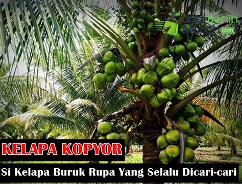 Cari Bibit Kelapa Kopyor mengenal kelapa kopyor jualbenihmurah