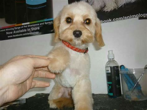 cavachon puppy cut chewy the cavachon after his first teddy bear cut