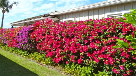 design flower garden online images about gardening on pinterest bougainvillea purple