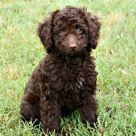 mini labradoodles va gracie s past litters of chocolate australian labradoodles