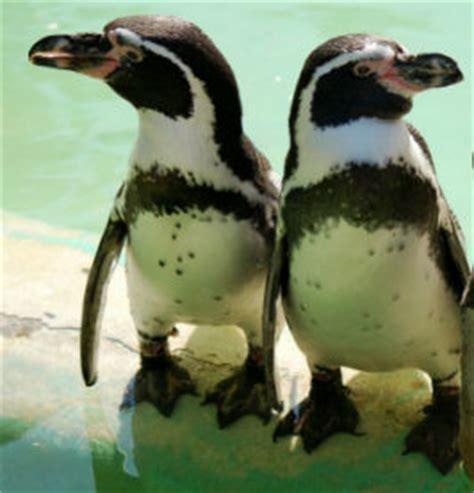 Humboldt Penguin Pictures, Good Pictures and Facts on ...