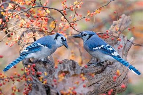wild birds unlimited blue jay fun facts