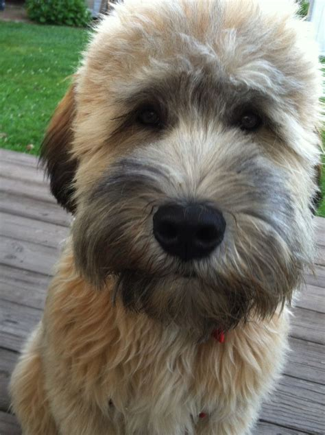 wheaten terrier haircut styles wheaten haircuts 17 best ideas about wheaten terrier on