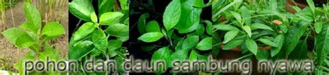 Bibit Sambung Nyawa jual tanaman buah pot dan polybag