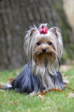 how often should i give my yorkie a bath 25 best ideas about yorkie hairstyles on terrier puppies