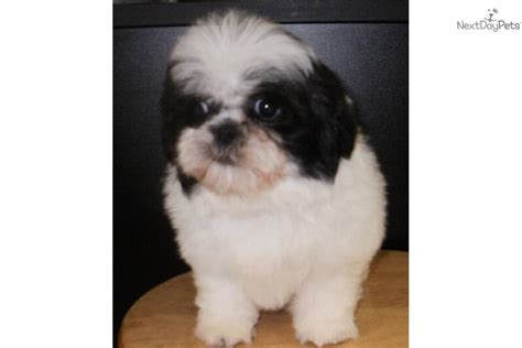 shih tzu shedding shih tzu and shedding 28 images maltese shih tzu ckc puppies is a maltese shih tzu