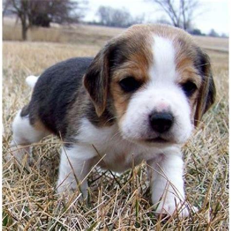 teacup beagle puppies for sale miniature pocket beagle puppies for sale uk zoe fans