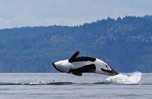 seattle whale watching boat tours custom seattle tours shutter tours