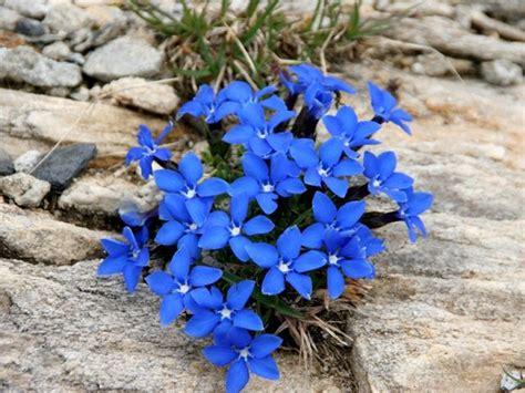 fiore di genziana 17 migliori immagini su fiori mio paese su