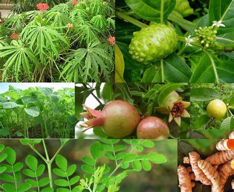 desa kembangan tanaman obat keluarga toga