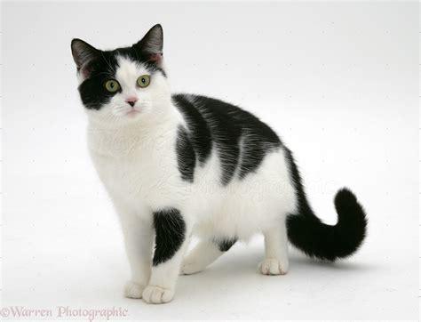 black and white kitten black and white cat photo wp26256