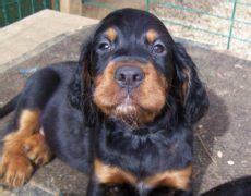 setter dogs 101 gordon setter info temperament care training puppies