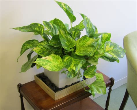 office plants over watering when you love your indoor office plants too