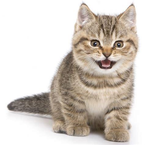 un gato y un test de bienestar comportamiento del gato feliway