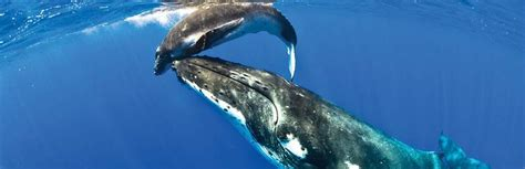 niue dive whale the official website of niue tourism