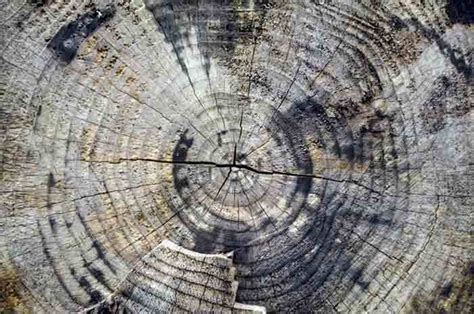 tree cross section for sale joan shannon tree cross section showing rings