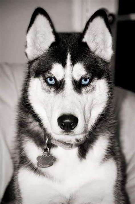 northern lights siberian husky rescue 2172 best images about animals on wolves