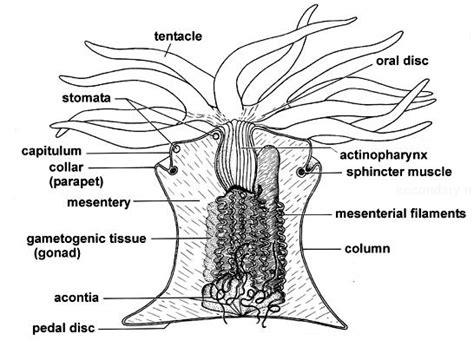 sea anemone diagram sea anemone quot treasures quot memorial library