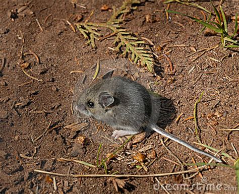 Floor Animals by Forest Floor Wood Mouse Apodemus Sylvaticus Royalty Free Stock Photography Image 7124257