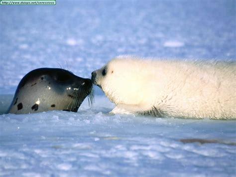imagenes de focas blancas fotos de focas i