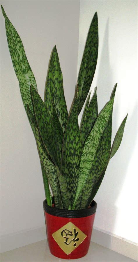 sansevieria trifasciata sansevieria trifasciata hortipedia