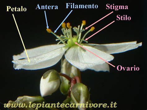struttura fiore drosera il fiore
