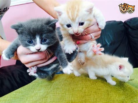 1 2 breed ragdoll kittens 1 4 ragdoll kittens bridgend bridgend pets4homes