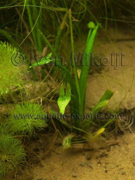 Best Plants For Tropical Aquarium - freshwater aquatic plant sp 18