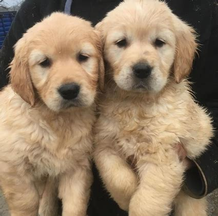 golden retriever puppies wales golden retriever puppies for sale for sale in llandeilo pembrokeshire wales united