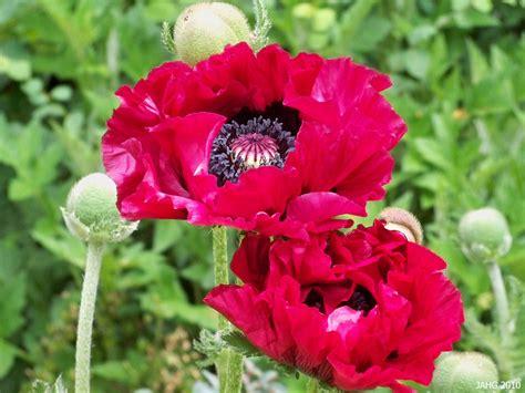 types of poppies photos