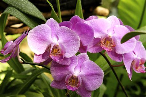 come fare per far fiorire le orchidee fioritura delle orchidee come farle fiorire e rifiorire