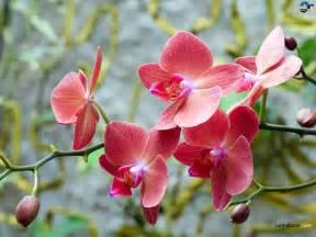 Orchids Orchids Wallpaper 6