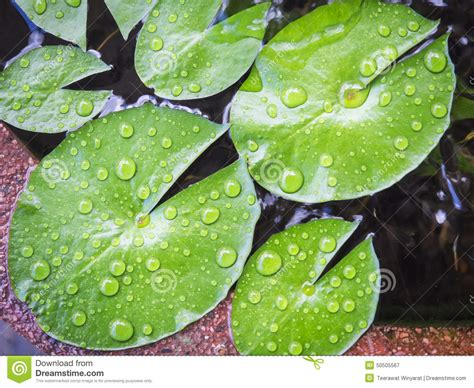 Emberly Top Z By Lotuz lotus leaves with drop of water stock photo image 50505567