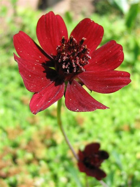chocolate cosmos file cosmos atrosanguineus jpg wikimedia commons